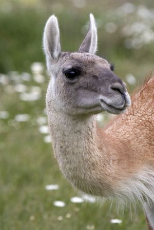 Adult Guanaco - Torres del Paine - Chris Howarth.jpg
