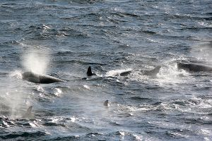Orcas, Neumayer Channel, Antarctica 045.jpg