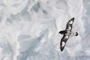 Painted Petrel -a3.jpg