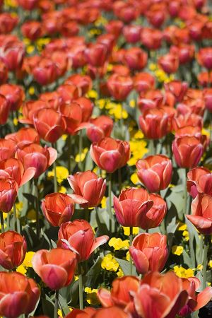 Field of orange tulips.jpg