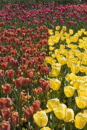 Field of tulips 3.jpg