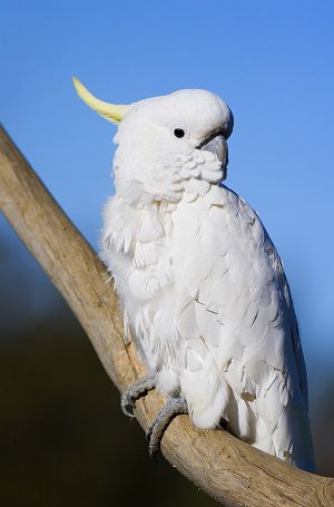 Cockatoo 2.jpg