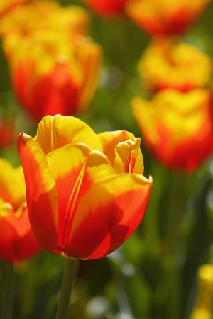 Yellow & Red tulip.jpg