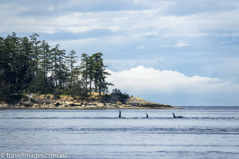 Orcas in Active Pass between Galiano and Mayne Islands, British Columbia, Canada