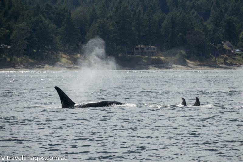 Orcas in the the Salish Sea, British Columbia, Canada