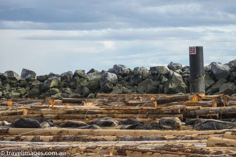 Seaqls hauled out on floating logs near Burrad Inlet, Vancouver