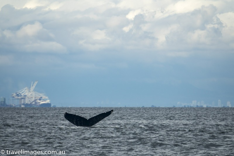 Humpback whales in the Salish Sea, near Active Pass, British Columbia