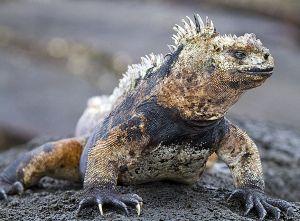 Sombero Chino, Galapagos 111.jpg