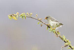 Female small tree finch (Camarhynchus parvulus)