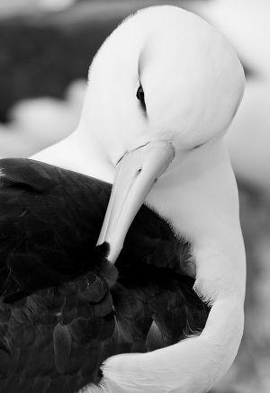 Black-browed albatross preening.jpg
