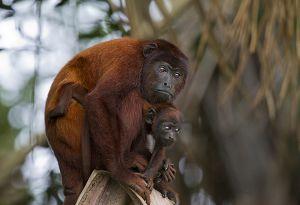 Reserva Nacional Tambopata 116.jpg