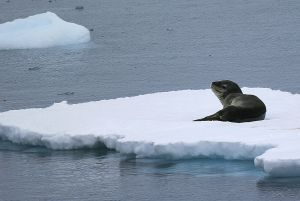 Leopard seal on berg.jpg