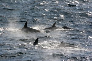 Orcas, Neumayer Channel, Antarctica 044.jpg