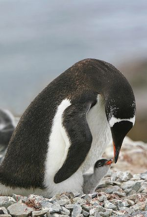c43-penguin young chick 1.jpg