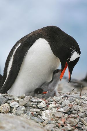 gentoo with 2 chicks.jpg