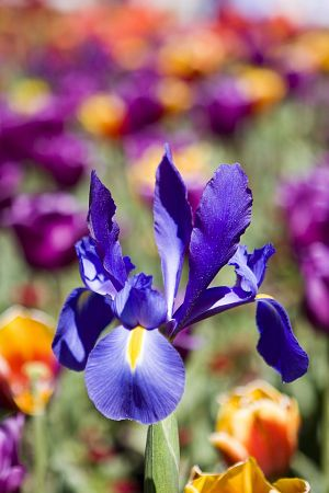 Dutch Iris in field of tulips 2.jpg
