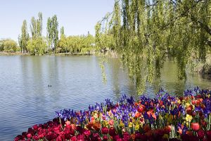 Field of flowers Lake Burley Griffin.jpg