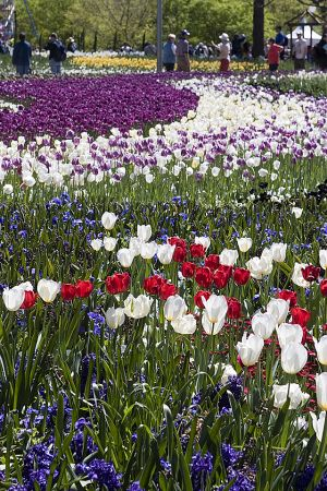 Field of tulips 2.jpg