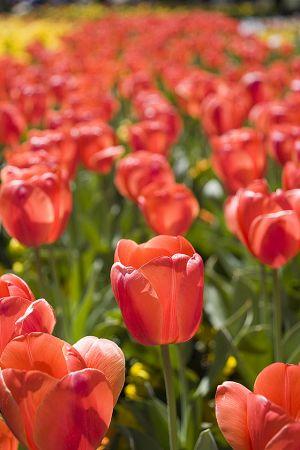 Salmon tulips.jpg