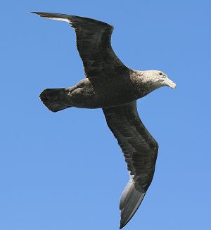 grey headed albatross.jpg